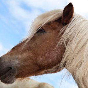 horse riding reykjavik6