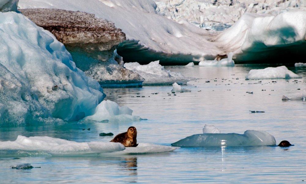 glacier_lagoon_seal
