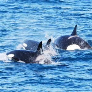 Whale Watching Iceland Orca Killer Whale