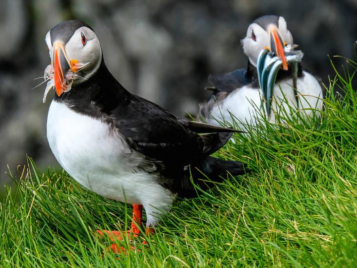 2019冰島追蹤海鸚鵡puffin之旅