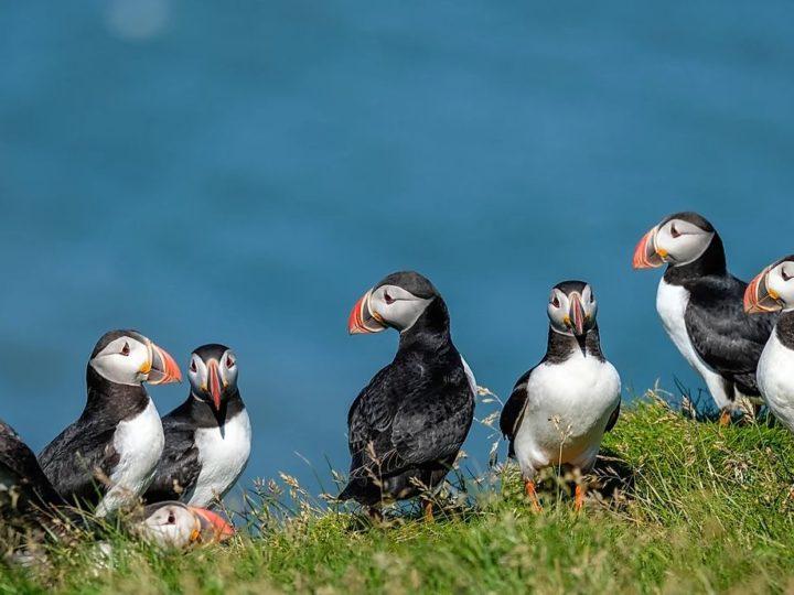 被譽為冰島國鳥–可愛海鸚鵡